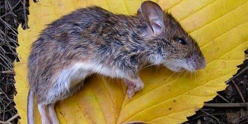 к чему снится мертвая крыса