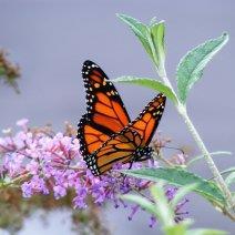 Приснилась бабочка: значение сновидения