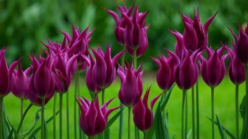 к чему снится поле тюльпанов