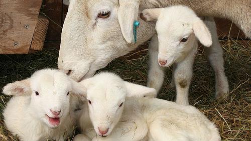 к чему снятся ягнята с овцами