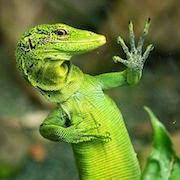 К чему снится зеленая ящерица?