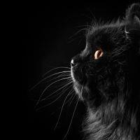 к чему снится черный кот