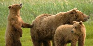 Медведица с взрослыми медвежатами