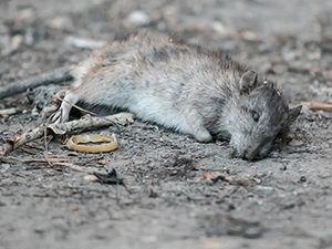 Дохлая крыса во сне - это решение всех проблем в реальной жизни