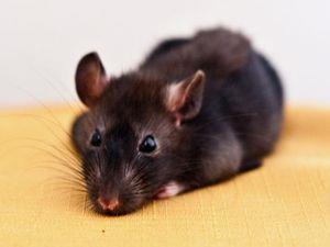 Черная крыса во сне - предвестник проблем