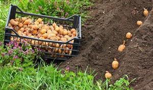 Выращивать картофель в своём огороде