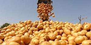Очень много картошки