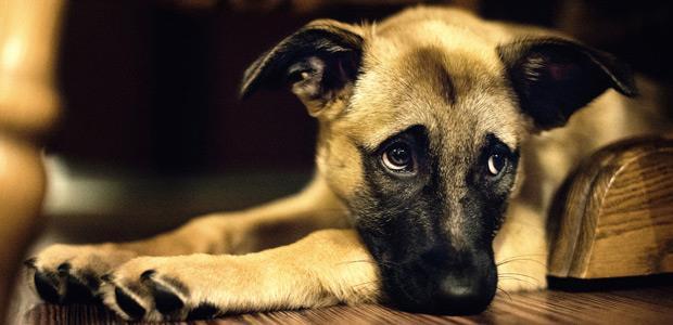 К чему снится рычащая собака женщине фото