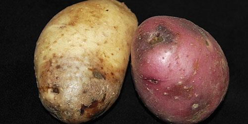 к чему снится гнилая картошка