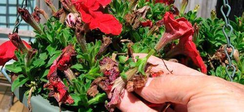 цветок в горшке завял