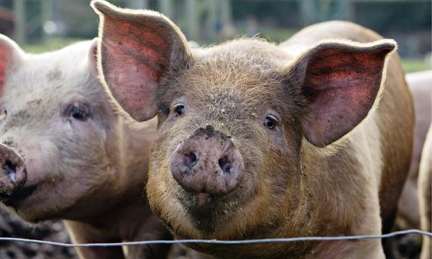 к чему снится отрубленная голова свиньи
