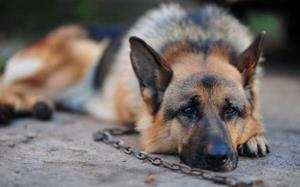 Собака на цепи