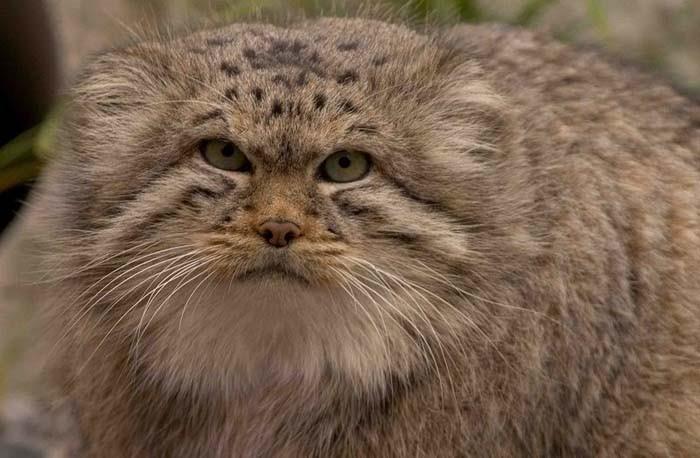 Сонник: к чему снится кот? Видеть во сне большого кота
