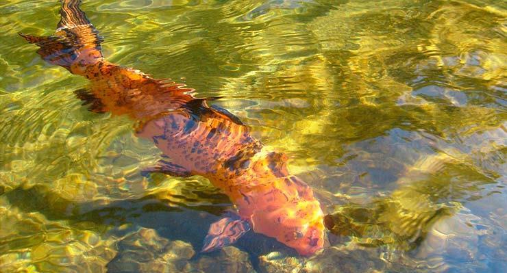Сонник рыба в прозрачной воде