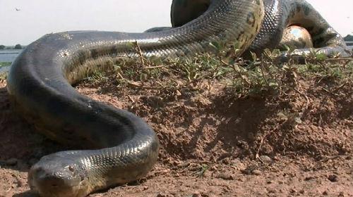 сонник большая черная змея