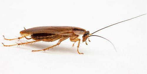 К чему снятся тараканы прусаки фото