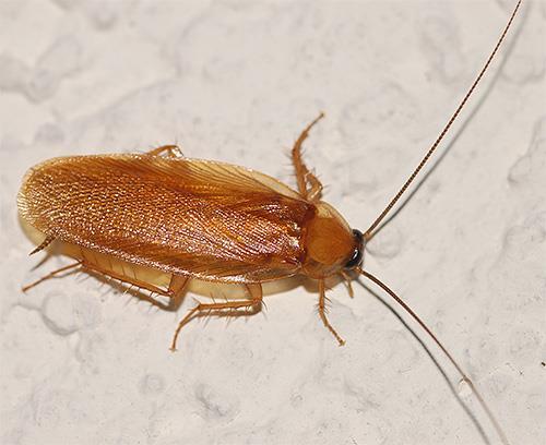 Фото К чему снятся тараканы прусаки