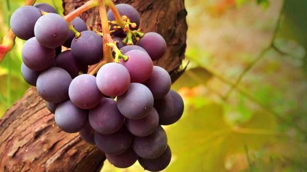 К чему снится гнилой виноград фото