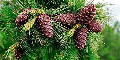 к чему снятся шишки на дереве