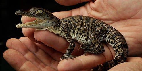 маленький крокодильчик