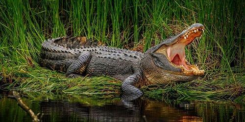 к чему снится что крокодил кусает