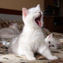 К чему снится белый котенок: толкование символики