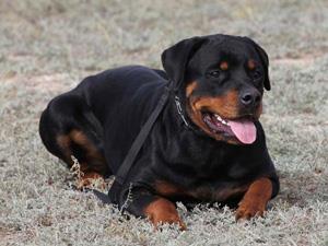 Большая черная собака во сне - к размолвке с товарищем