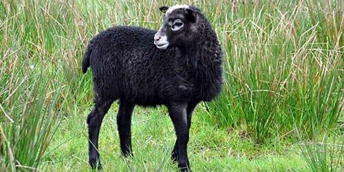 черная овечка