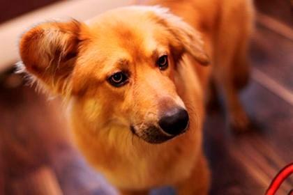рыжая собака навострила ухо