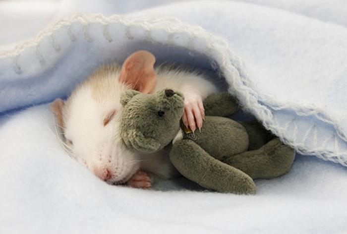 к чему снится крыса женщине