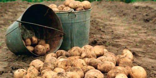 сонник копать картошку