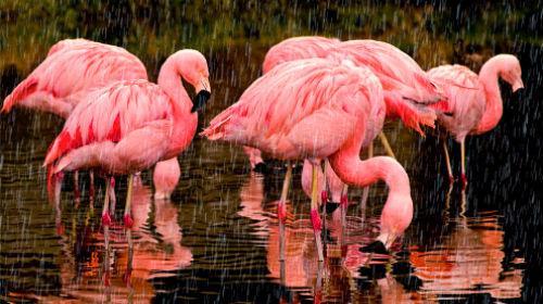 к чему снится розовый цвет