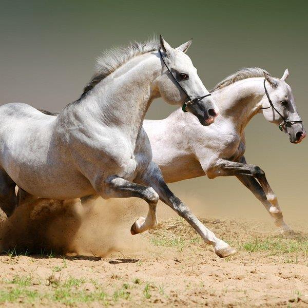 Видеть во сне лошадь исламский сонник фото