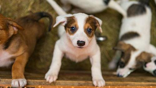 много бело рыжих щенков