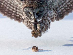 Легенда гласит, что сову создал Дух Зла. который хотел показать, что он также силён, как и Великий Создатель.