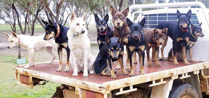 стая собак