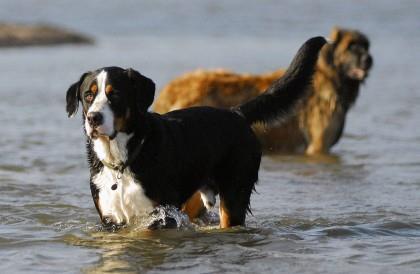 собаки в реке