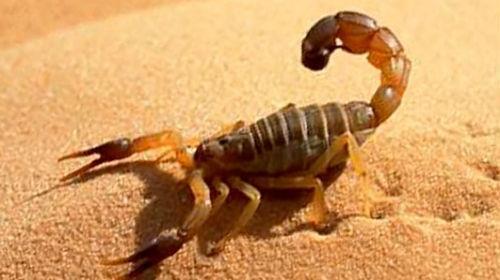 к чему снится скорпион