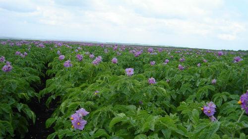 картофель цветет во сне