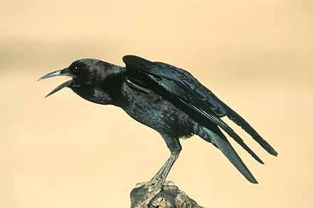 Человек, вспоминая, как во сне ворона нападала на него, чувствует безотчетную тревогу.