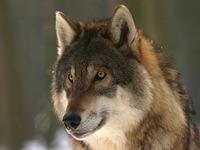 k-chemu-snitsya-volk-volki