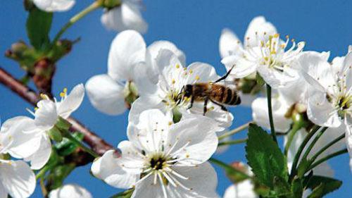 вишня черешня цветет
