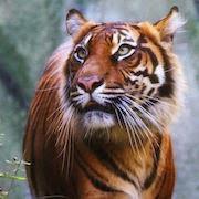 К чему снится добрый тигр?