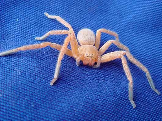 белый паук во сне