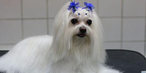 ухаживать за белым псом