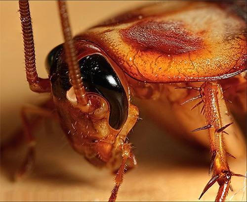 Фото К чему снятся бегущие тараканы