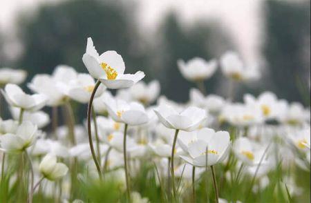 Белые цветы во сне - к радости