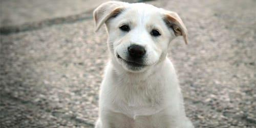 Сонник две белые собаки фото