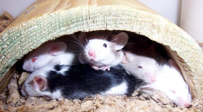 к чему снятся дохлые мыши
