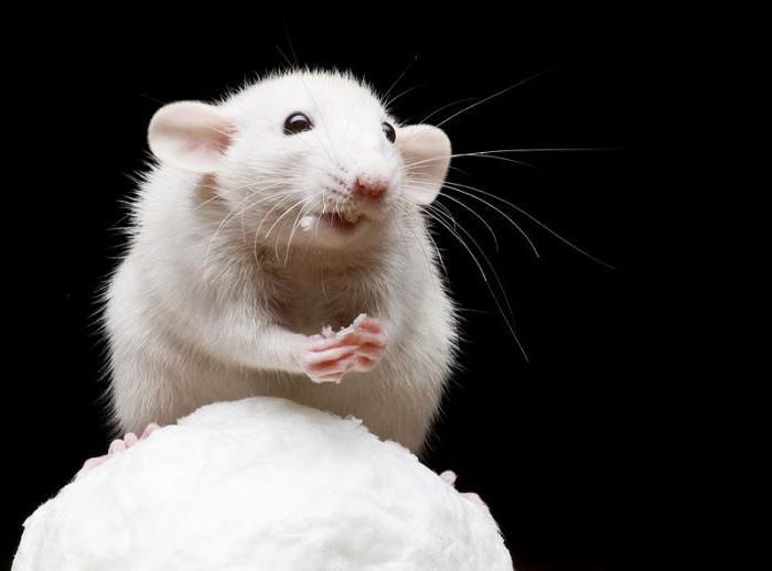 к чему снится черная мышь
